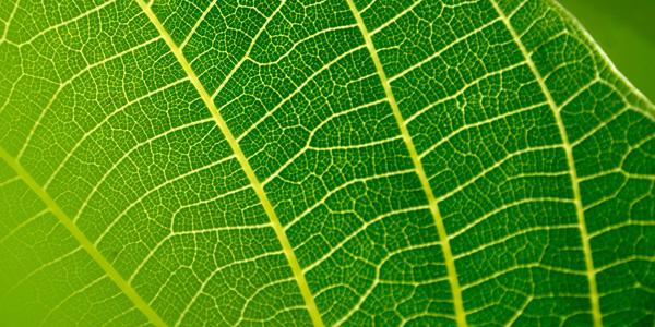Schmuckbild vom grünen Blatt